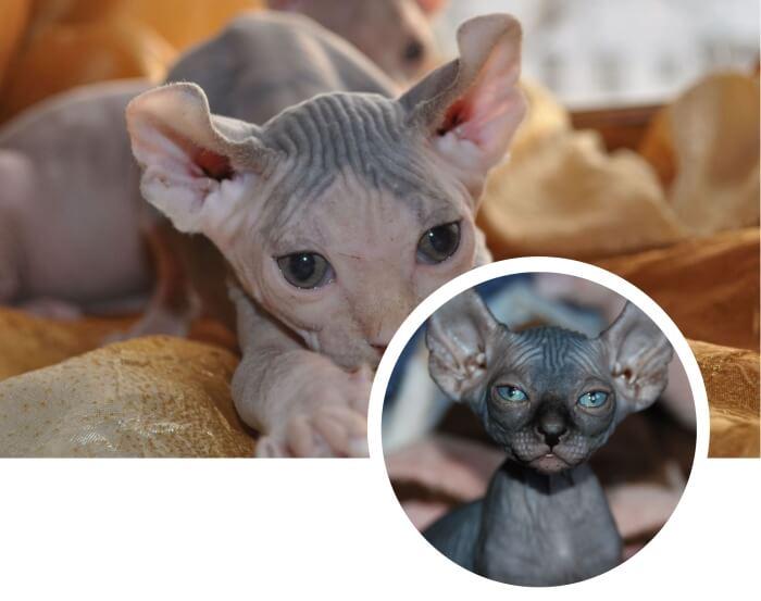 gato sin pelo elfo bicolor acostado