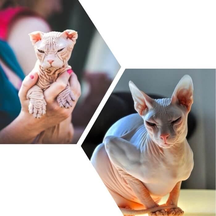 gato sin pelo kohana arrugado y de color blanco
