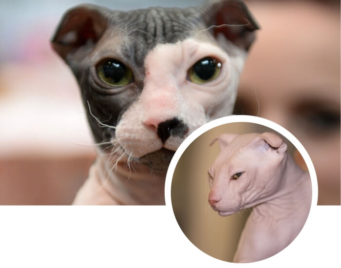 exótico gato sin pelo Levkoy de color blanco