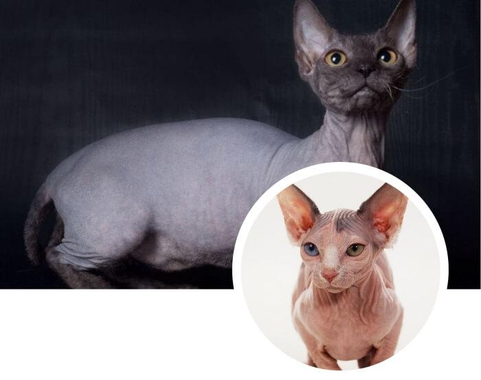 gato sin pelo minskin con ojos de diferente color