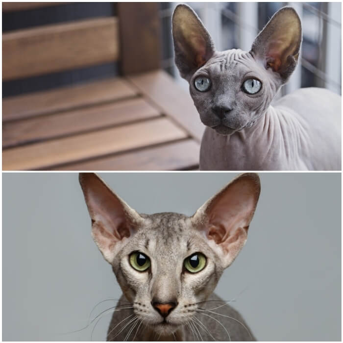 gato sin pelo Peterbald atento con las orejas erguidas