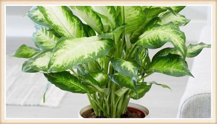 maceta con planta dieffenbachia frondosa