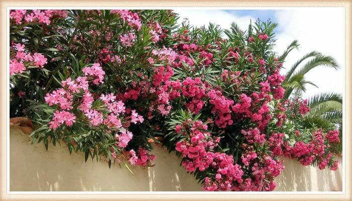 arbusto de adelfas florido sobre el muro
