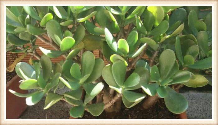 árbol de jade frondoso