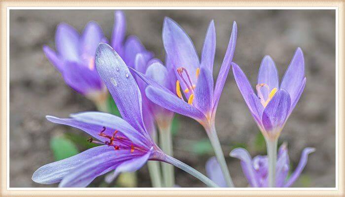 azafrán silvestre de color lila