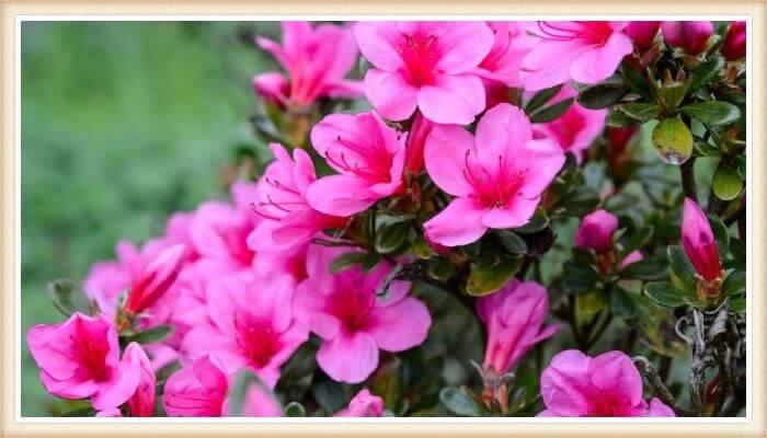 hermosas azaleas de color fucsia intenso