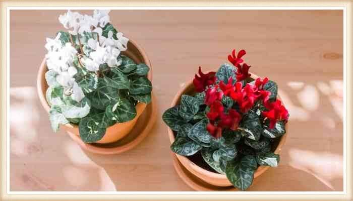 macetas con plantas de ciclamen florido