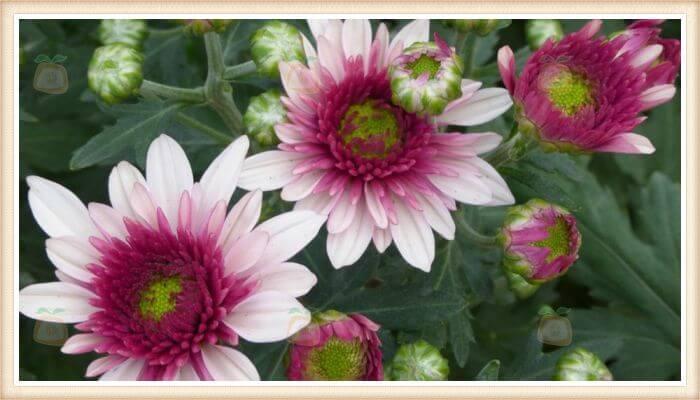 crisantemos de color rosa claro y oscuro