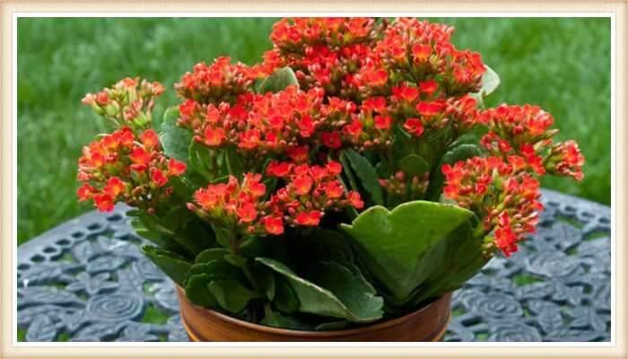 maceta con kalanchoe florido sobre la mesa del jardín