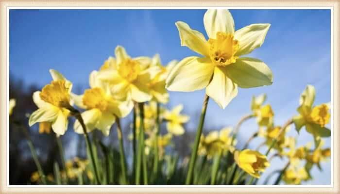 hermosos narcisos amarillos
