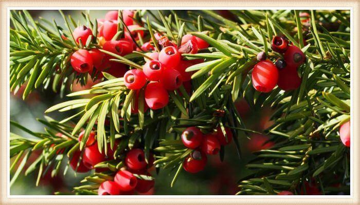 arbusto de tejo común cargado de frutos rojos