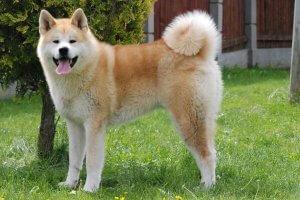 perro akita parado sobre sobre la hierba verde