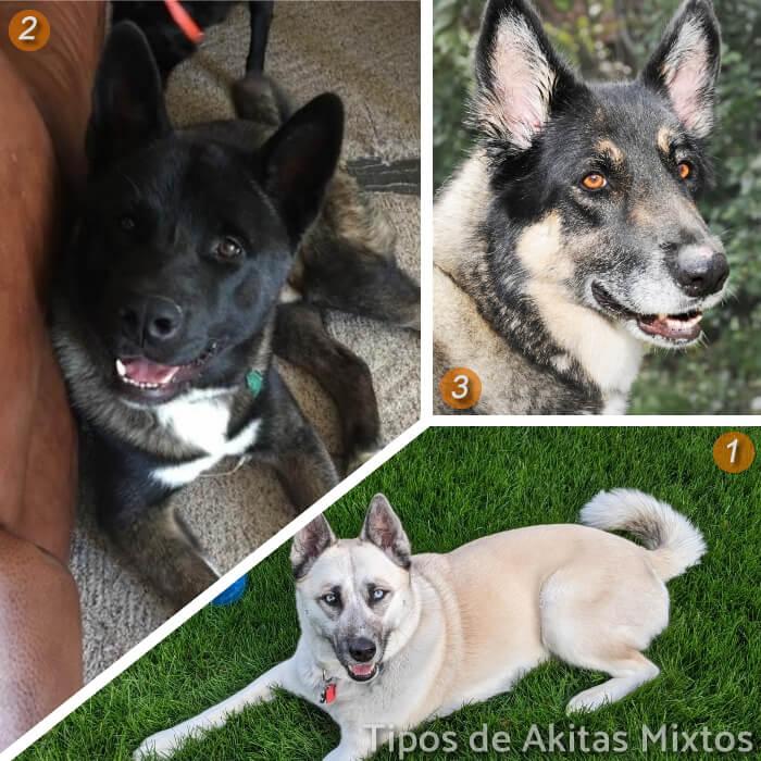 imagen collage de perros akitas mixtos