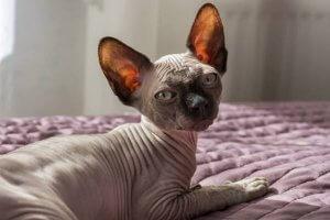 gato esfinge acostado sobre la cama
