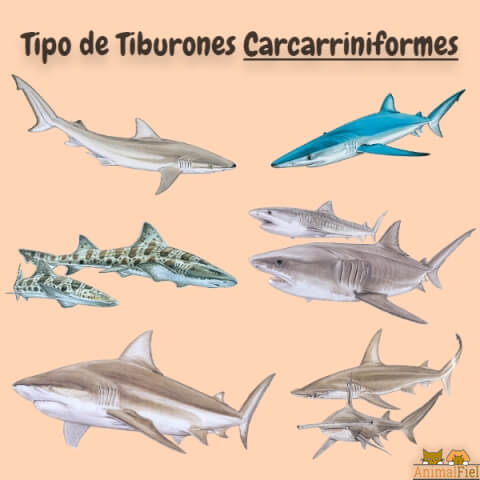 imagen diseño especies de tiburones carcarriniformes
