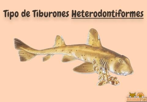 imagen diseño de tiburones heterodontiformes