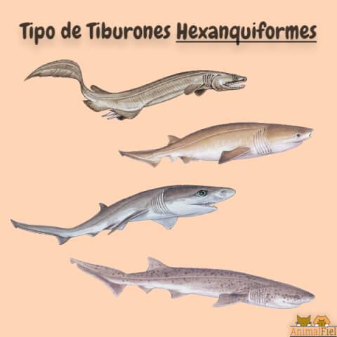 imagen diseño de tiburones hexanquiformes
