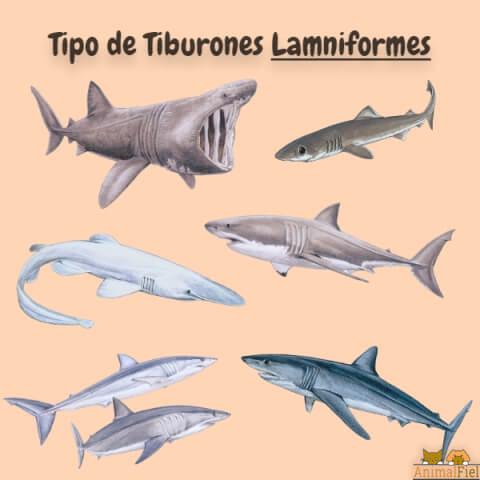 imagen diseño de tiburones lamniformes