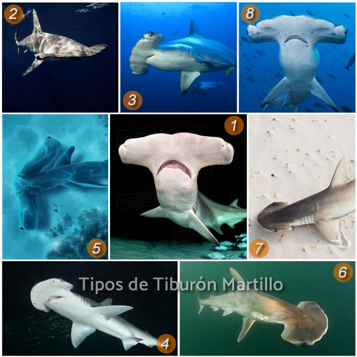 imagen collage de diferentes tiburones martillo
