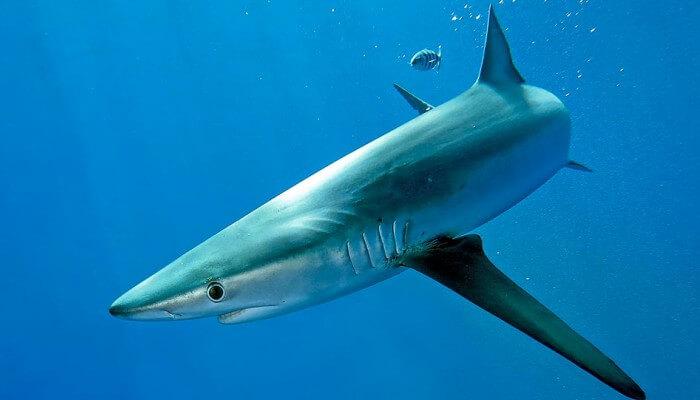 tiburón azul nadando en las profundidades