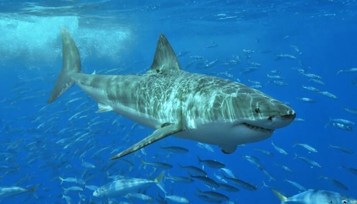 gran tiburón blanco rodeado de peces