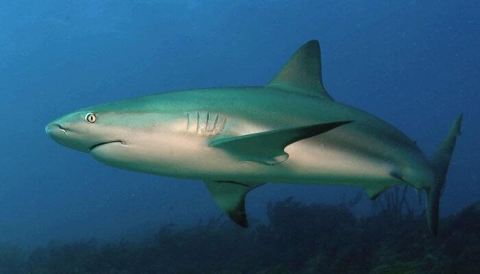 tiburón de arrecife nadando en aguas oscuras