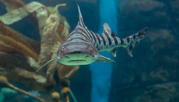 hermoso tiburón leopardo nadando entre plantas marinas