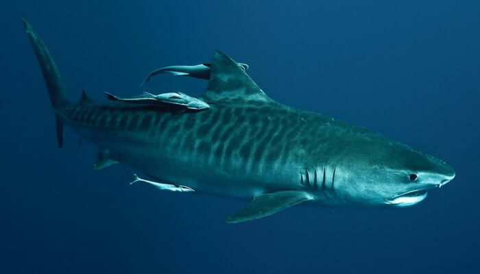 tiburón tigre acompañado por peces rémora