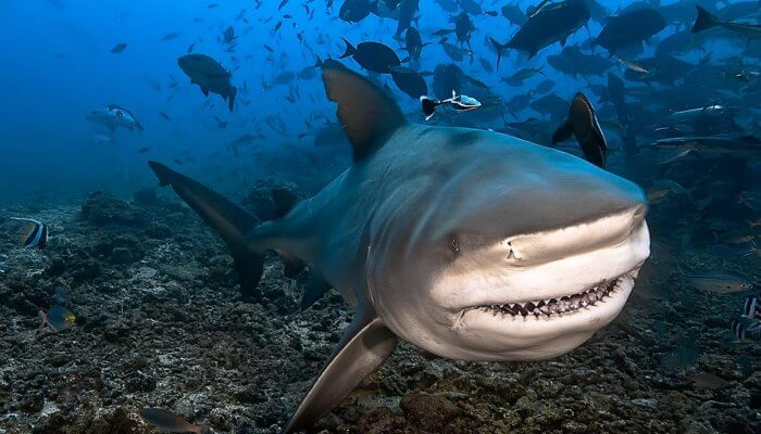 gran tiburón toro mostrando sus dientes afilados