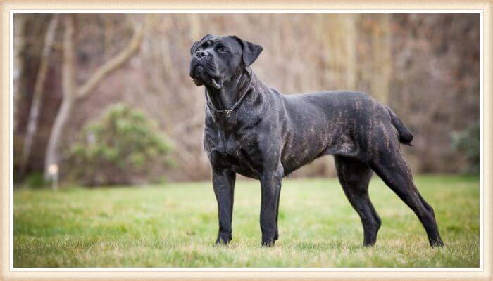 cane corso robusto de pelaje negro-atigrado
