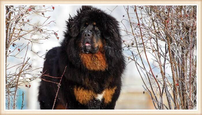 imponente mastín tibetano de color negro y fuego