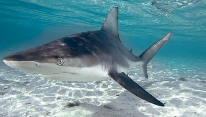 tiburón nadando cerca del fondo marino