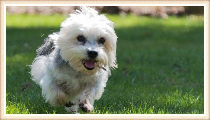 Dandie Dinmont terrier corriendo feliz