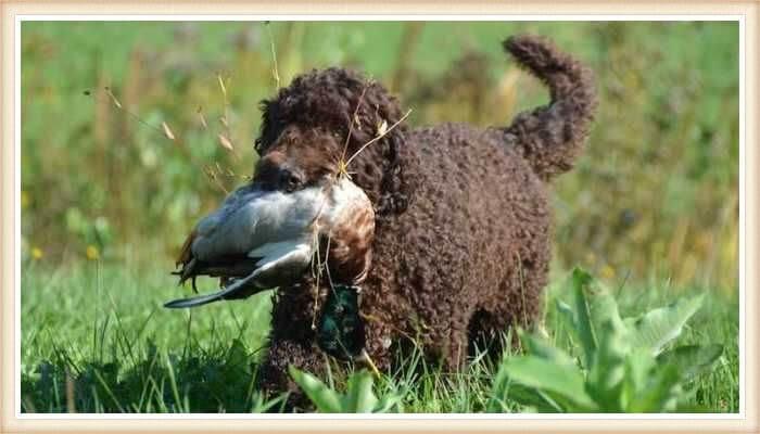 perro barbet con ave en la boca