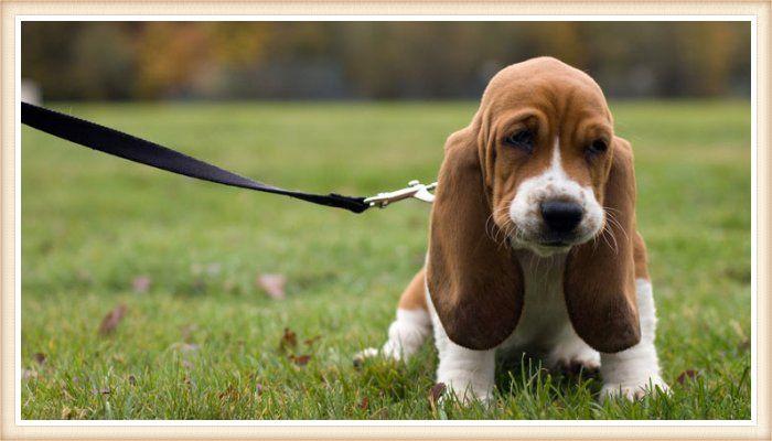 cachorro basset hound de paseo con collar y correa