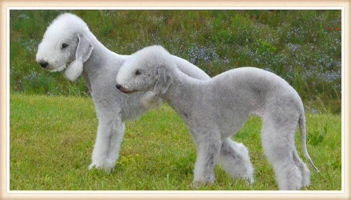 bedlington terriers paseando en la naturaleza