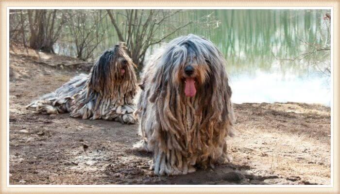 perros bergamascos con pelaje de esteras tupidas