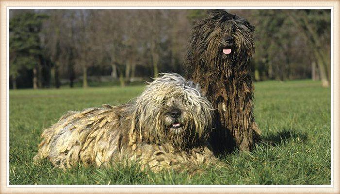 perros bergamascos descansando al aire libre