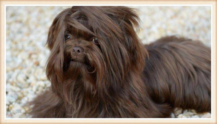 perro bolonka de pelaje marrón mullido