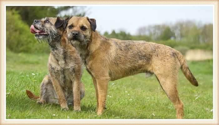 border terriers al aire libre
