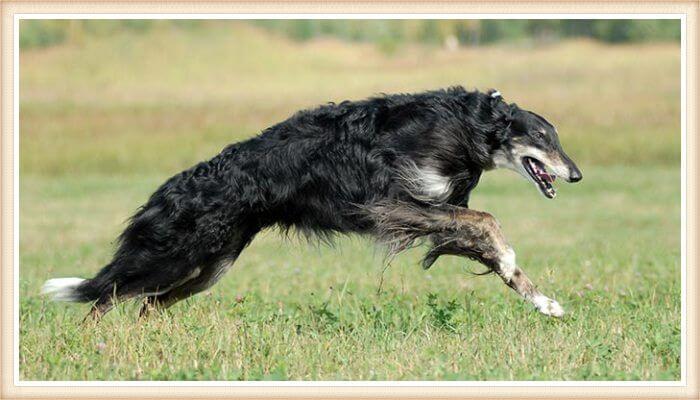 borzoi que corre sobre la hierba