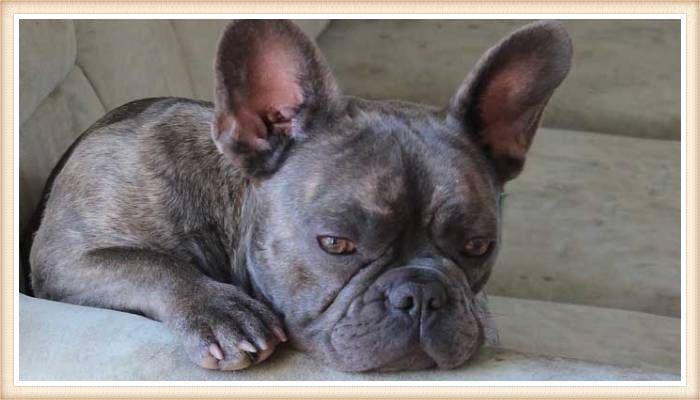bulldog francés somnoliento en el sofá