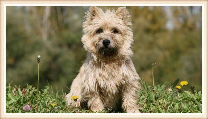 bonito cairn terrier de abrigo despeinado