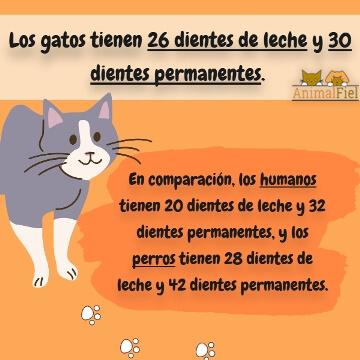imagen-diseño sobre número de dientes en gatos