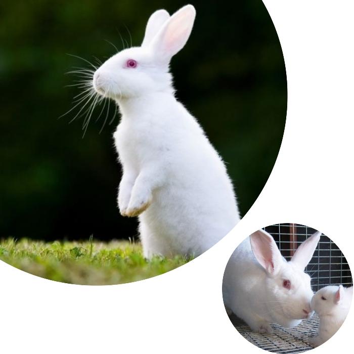 conejo americano parado en dos patas