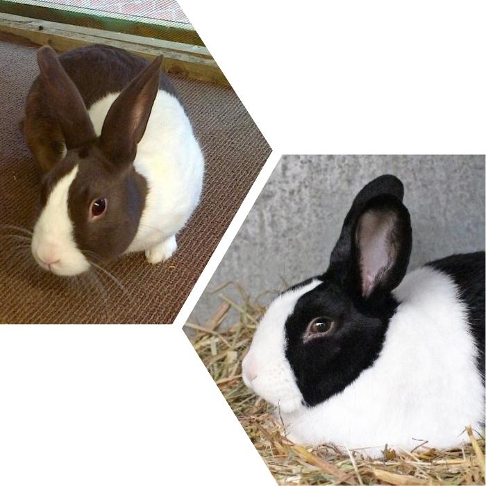 conejo holandés blanco y negro en su jaula