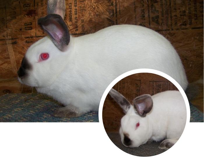 conejo californiano de ojos muy rojos