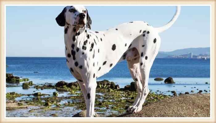 hermoso perro dálmata de lunares grandes