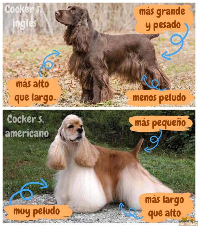 imagen comparativa entre tipos de cocker
