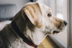 perro pensativo mirando por la ventana